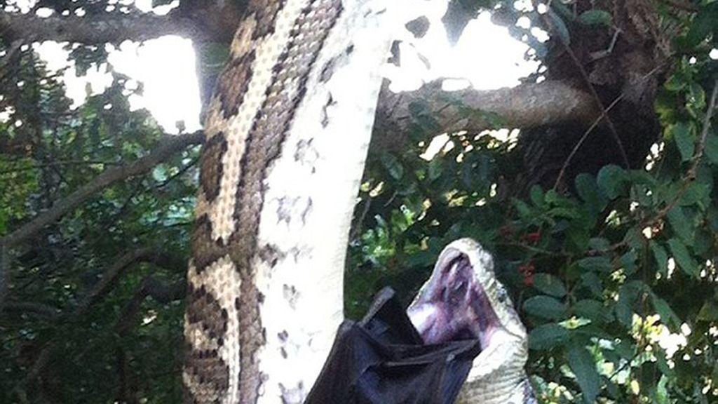 La serpiente tardó 30 minutos en devorar al murciélago