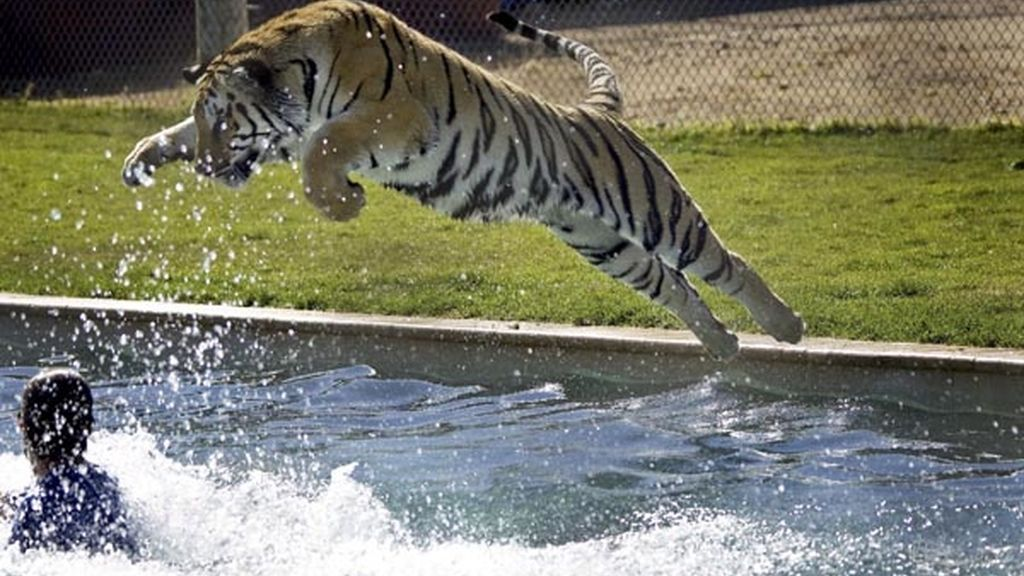 Los tigres, amigos de sus cuidadores durante media hora al día en Arizona