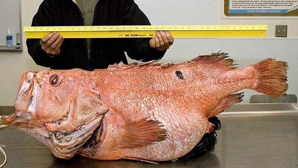 El pez monstruo pescado en Alaska