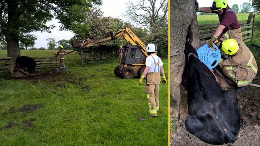 Una vaca y un árbol, los protagonistas del rescate más insólito de los bomberos ingleses