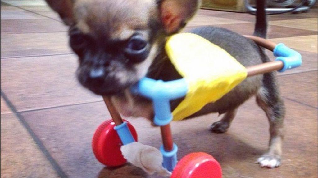 Un chihuahua sin patas delanteras se hace viral en Instagram