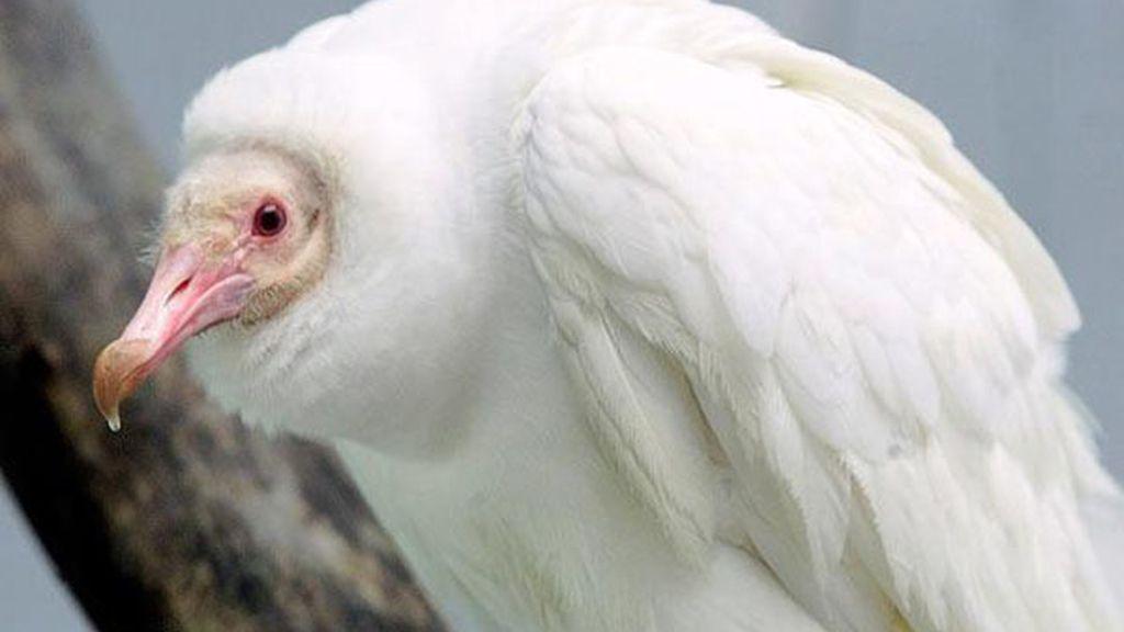 El albinismo en el mundo animal