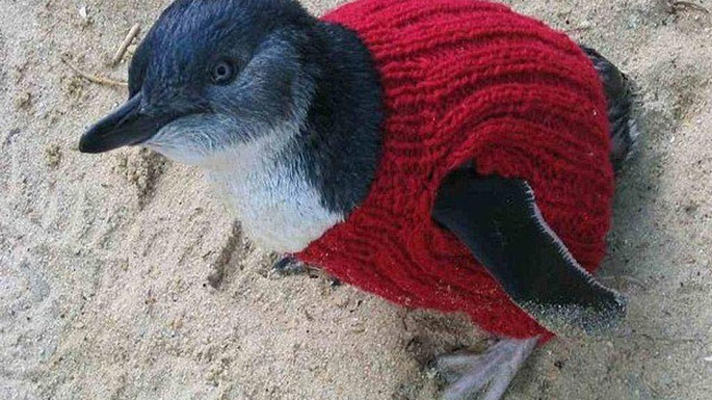 Sueters para salvar la vida de pingüinos bebé