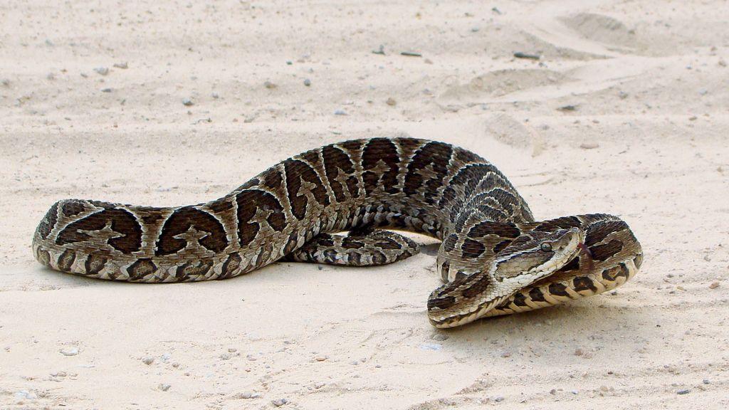 Serpiente Borthrops