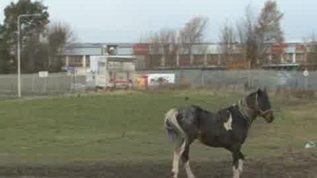 La crisis irlandesa deja multitud de caballos abandonados