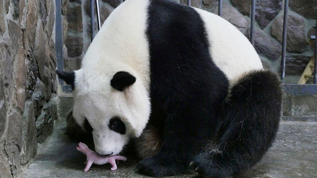 Mamá panda con su recién nacido