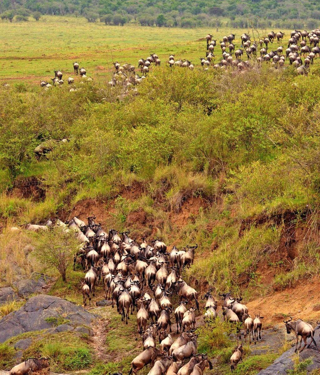 La migración de los ñus