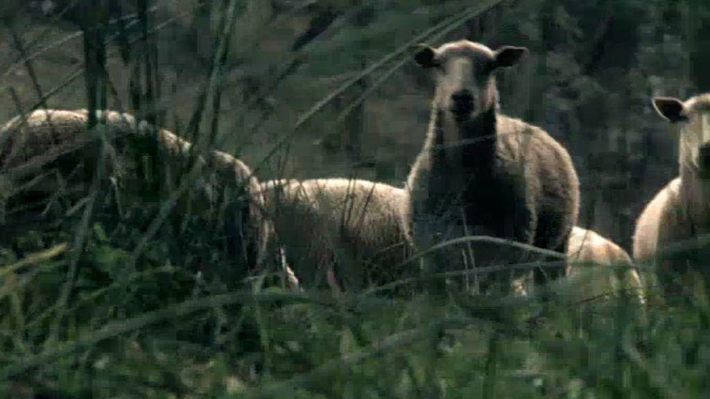 Oleada de ganado mutilado en Dozon