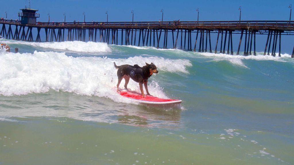 Mascotas que cambian su collar por una tabla de surf