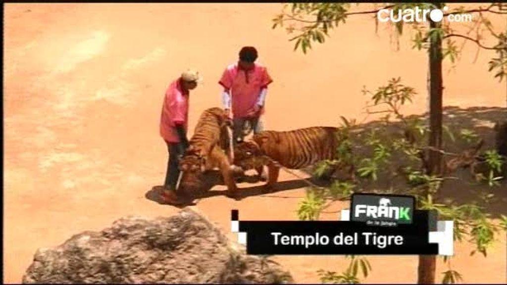 Asistimos a la hora del recreo de los tigres