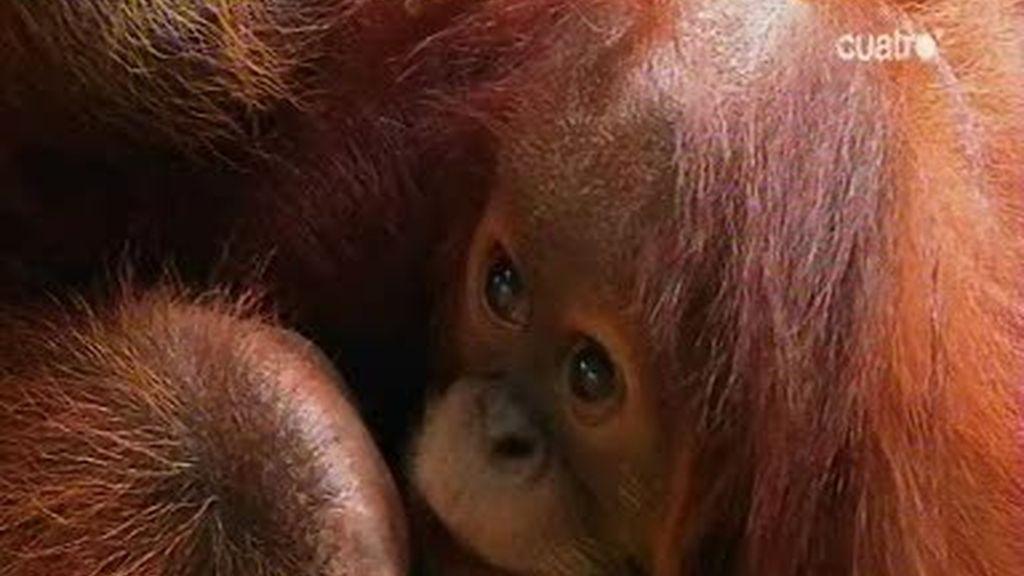 Frank de la Jungla nos cuenta cómo actúan las mamás orangután y los bebés