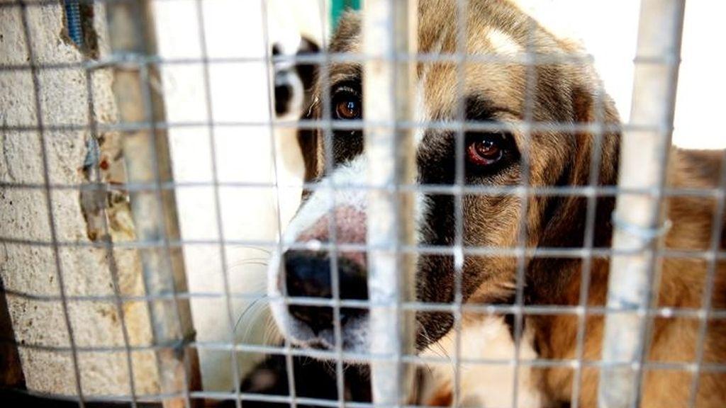 El 60% de las mascotas que se regalan acaba abandonadas o maltratadas