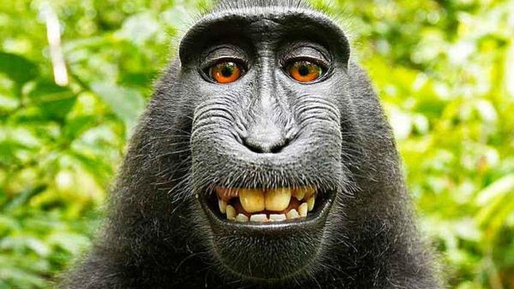 mono selfie,derechos autor,selfie,David Slater
