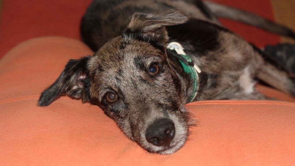 Este cachorro fue abandonado con tres meses de vida y ya tiene un buen hogar.