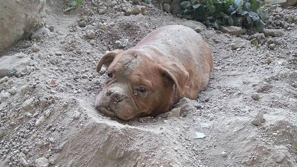 Encuentran a un dogo de Burdeos enterrado vivo a las afueras de Paris