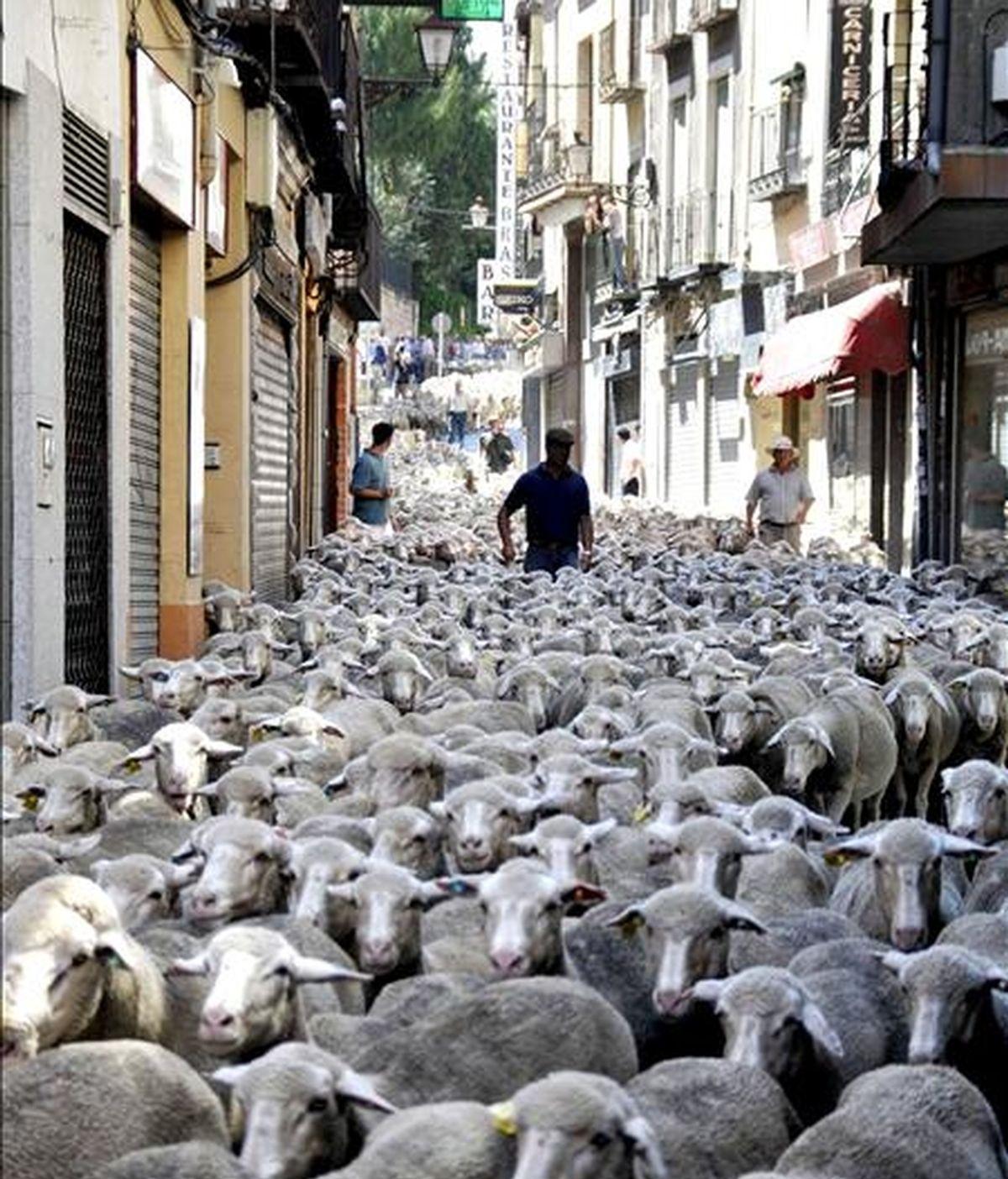 """Cerca de 2.200 ovejas merinas que pertenecen al consejo regulador de la denominación de origen protegido """"Queso de la Serena"""" han recorrido Segovia atravesando los principales monumentos de la ciudad. EFE"""