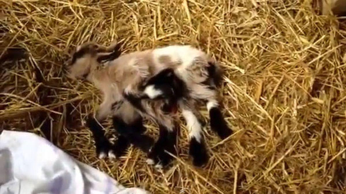 cabra de ocho patas,cabra,granjero Kutjevo,croacia