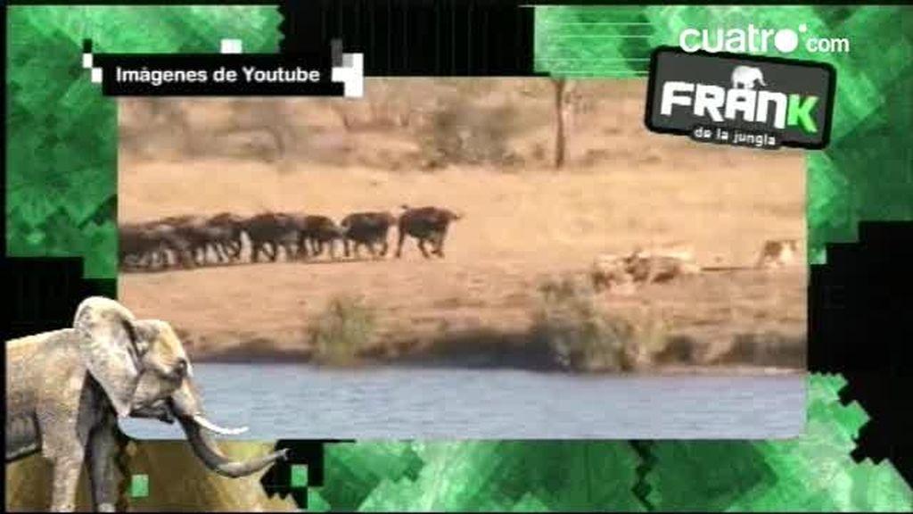 Frank explica cómo una manada de búfalos defiende a una cría del ataque de varios leones y un cocodrilo