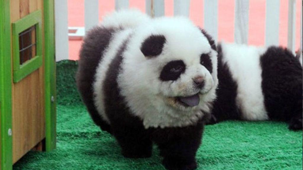 perros chow chow, perros panda, osos panda, circo de Italia, circo,