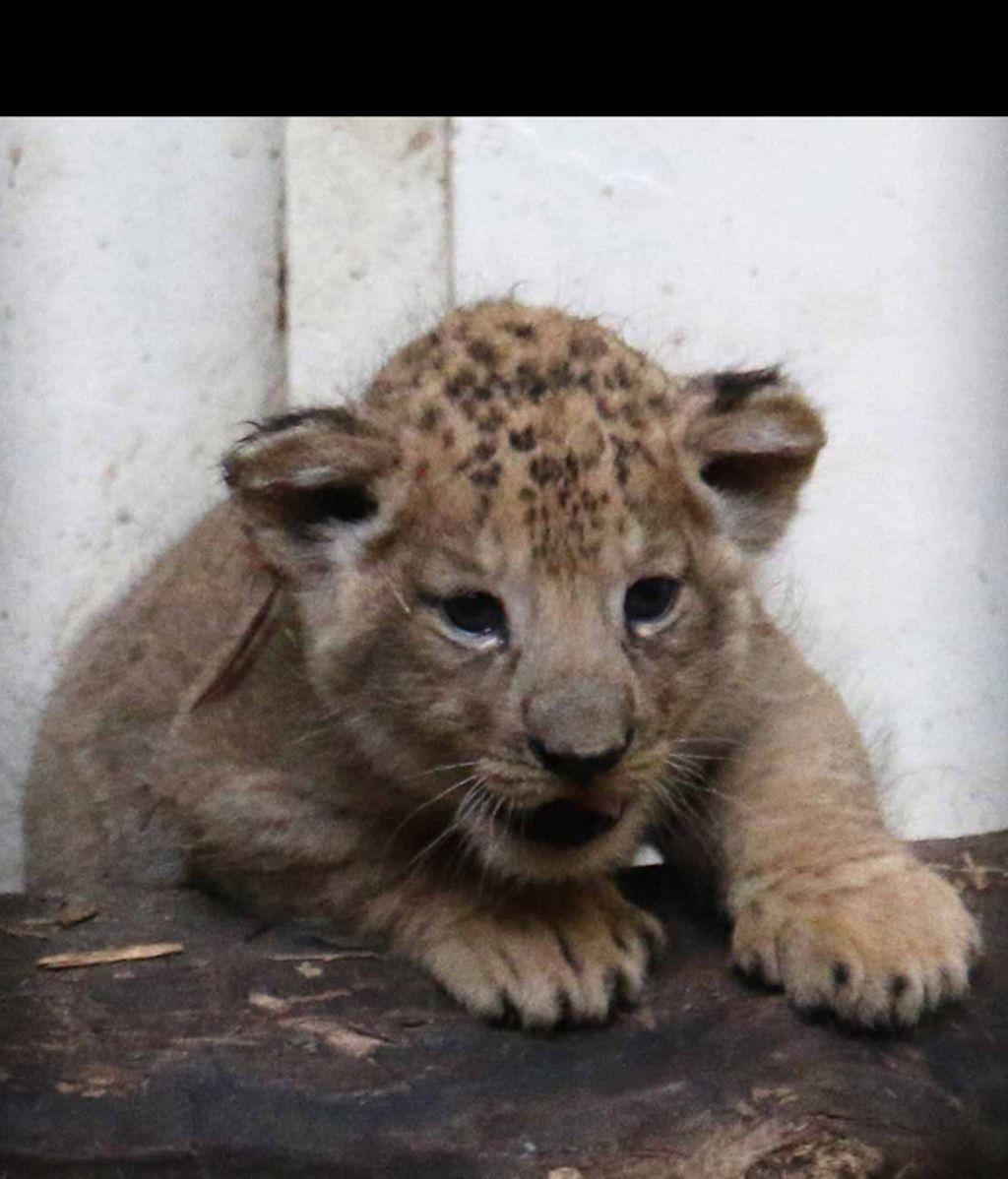 Dicen que los leones son peligrosos, pero viendo a estos cachorrillos no pensarás lo mismo