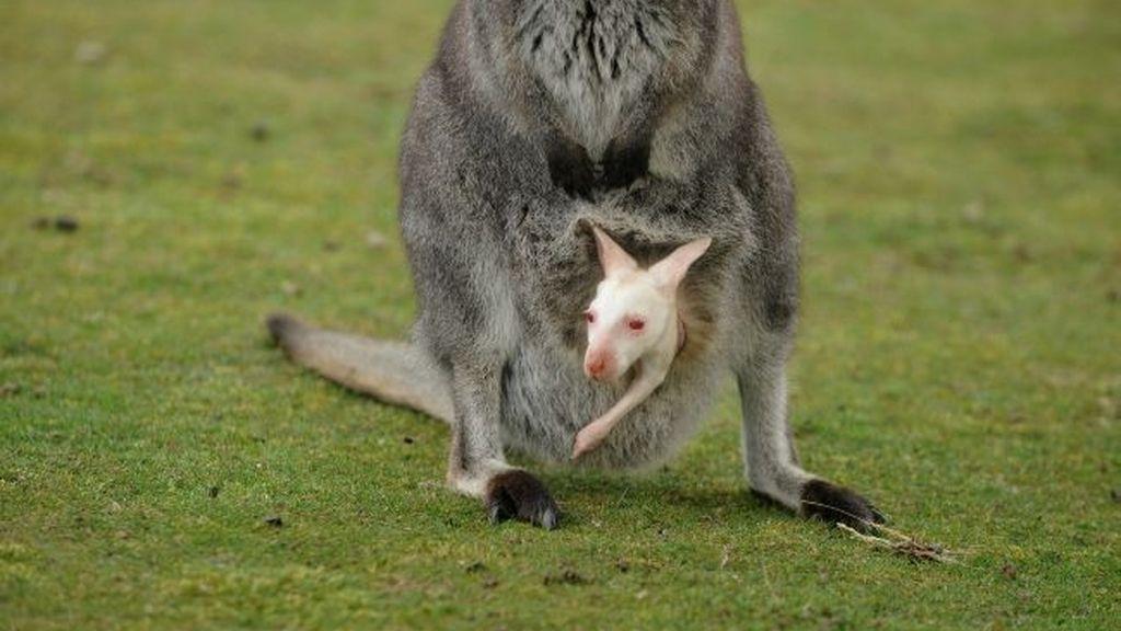 Nace un canguro albino en un parque natural británico