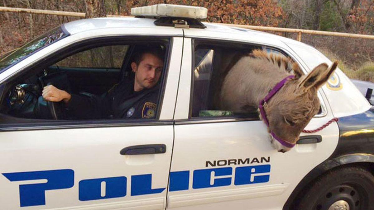 ¡El detenido es un burro!
