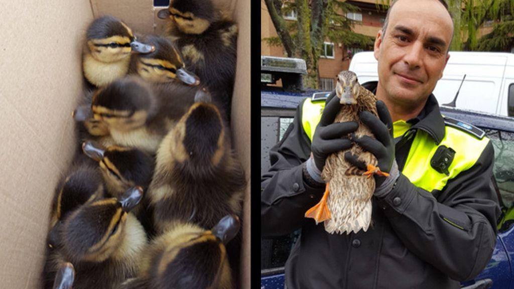 Rescate de una familia de patos a manos de la Policía Municipal de Madrid
