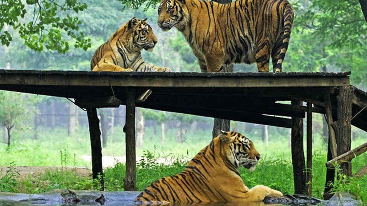 Fallece una mujer tras ser atacada por un tigre durante un safari en China