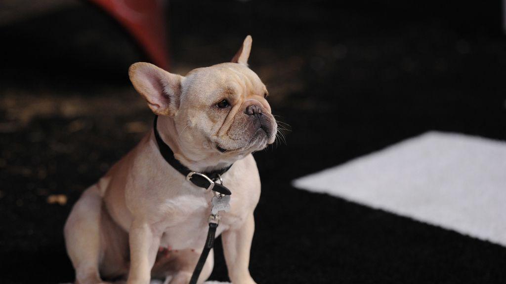 Un perro de raza Bulldog Francés