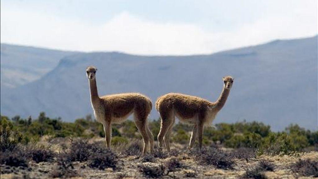 """La matanza de las vicuñas se produjo en plena época de esquila de estos camélidos, que en las comunidades andinas peruanas se realiza mediante un ritual prehispánico conocido como el """"chaccu"""". EFE/Archivo"""