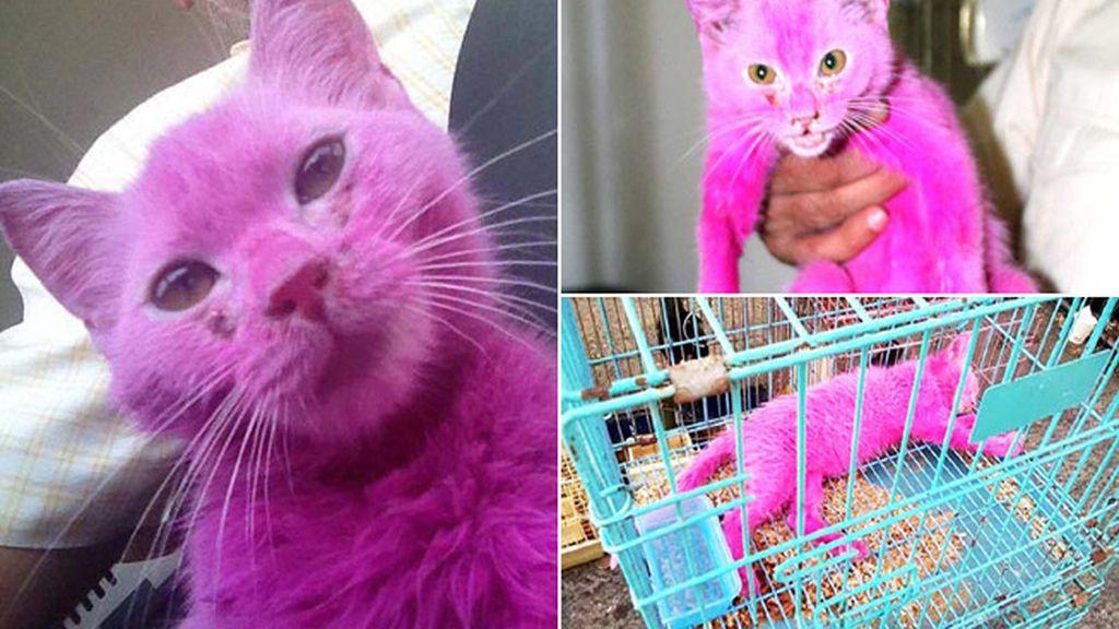Rescatan a un gato teñido de rosa y expuesto al sol en pleno verano