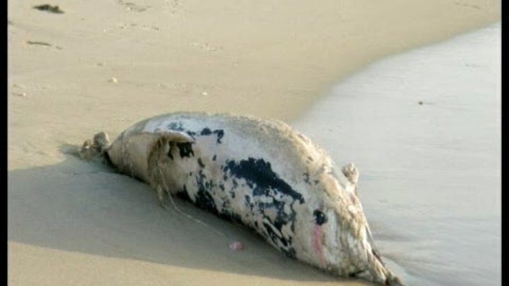 Delfines muertos en Valencia
