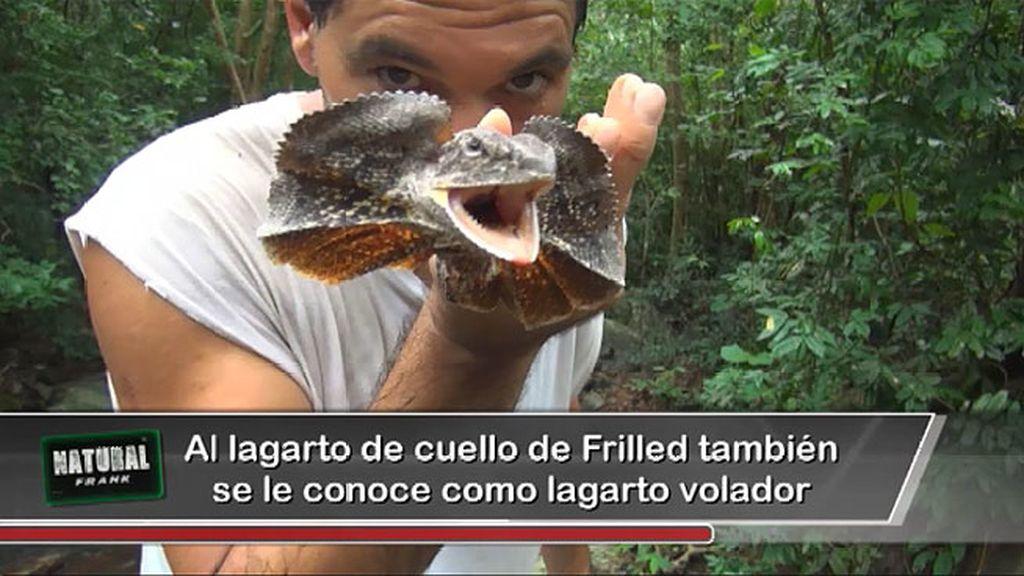 Una cobra escupidora, un pájaro de boca de rana, un lagarto de cuello Frilled...