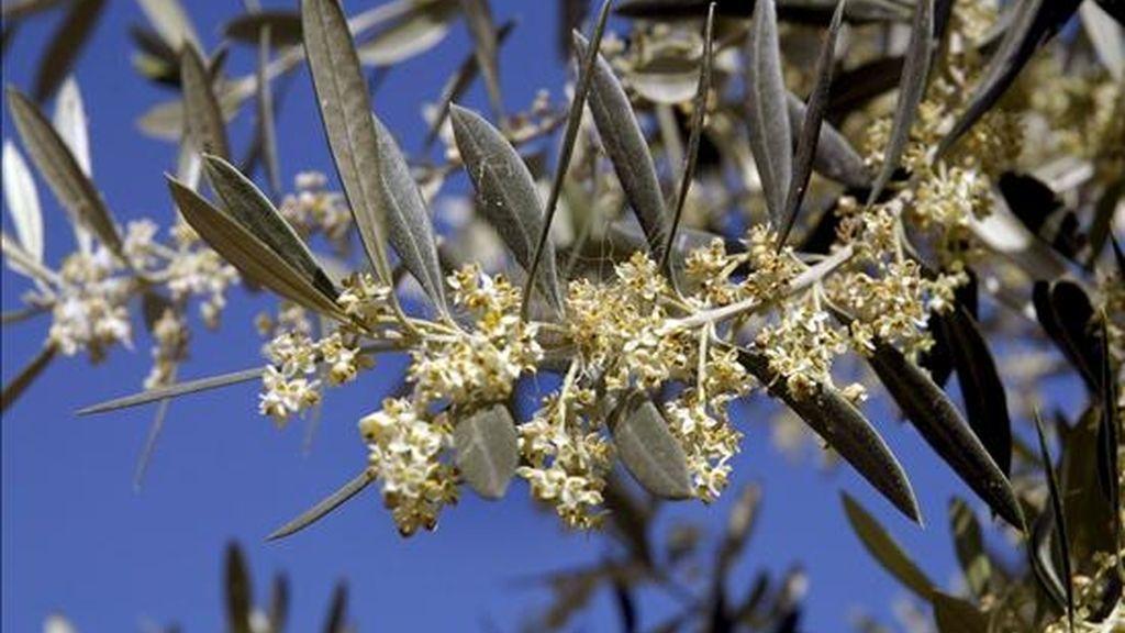 Imagen de la flor cargada de polen del olivo en Jaén. EFE