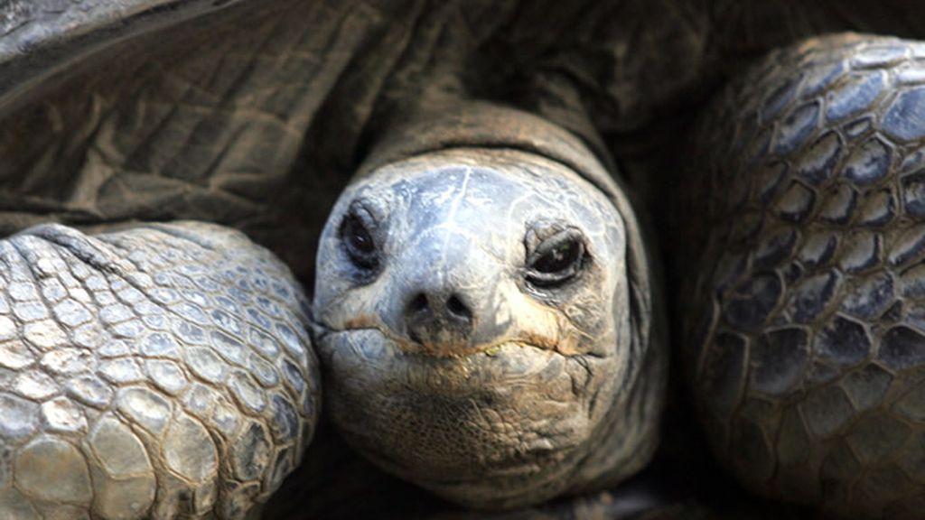 Tortugas gigantes en Seychelles