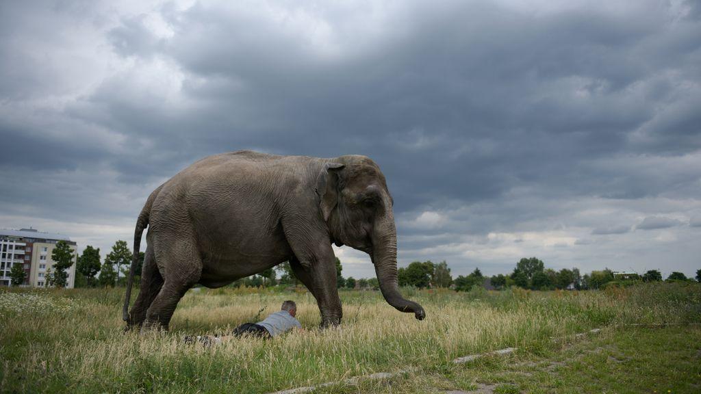 Un elefante del Zoo de Berlín en su paseo diario