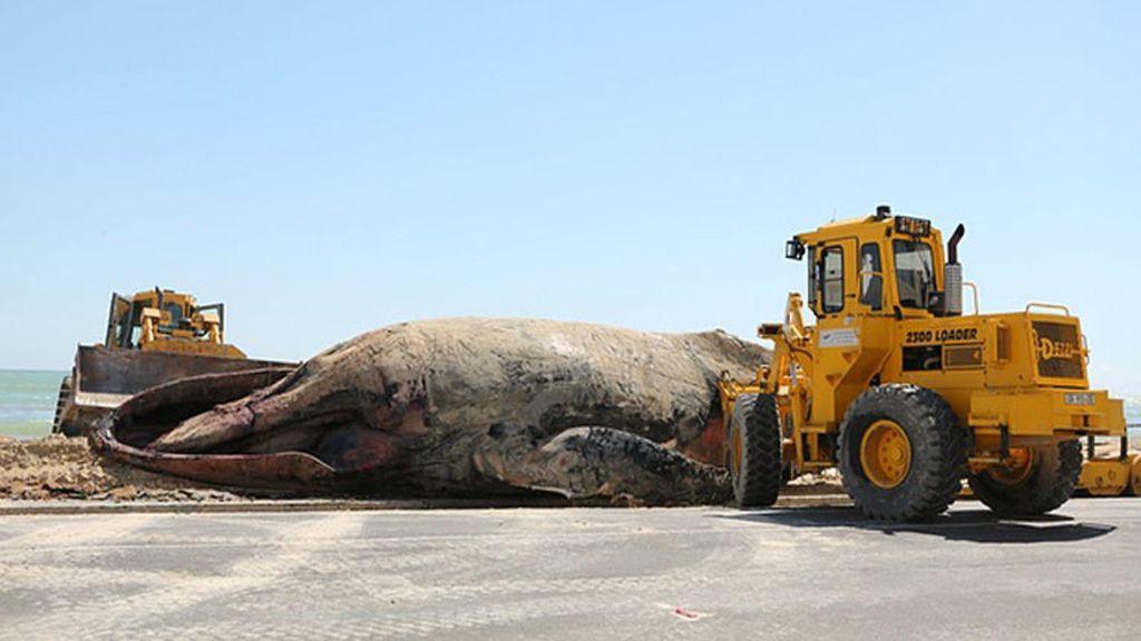 Ballena muerta por tiburones en Sudáfrica