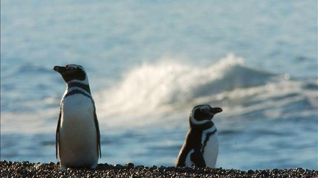 Los pingüinos corresponden a la especie llamada de Humboldt o Magallánico (Spheniscus Magellanicus), que habita en el extremo sur del continente americano y que durante el invierno austral suele llegar hasta el norte de Chile y aún más allá. EFE/Archivo