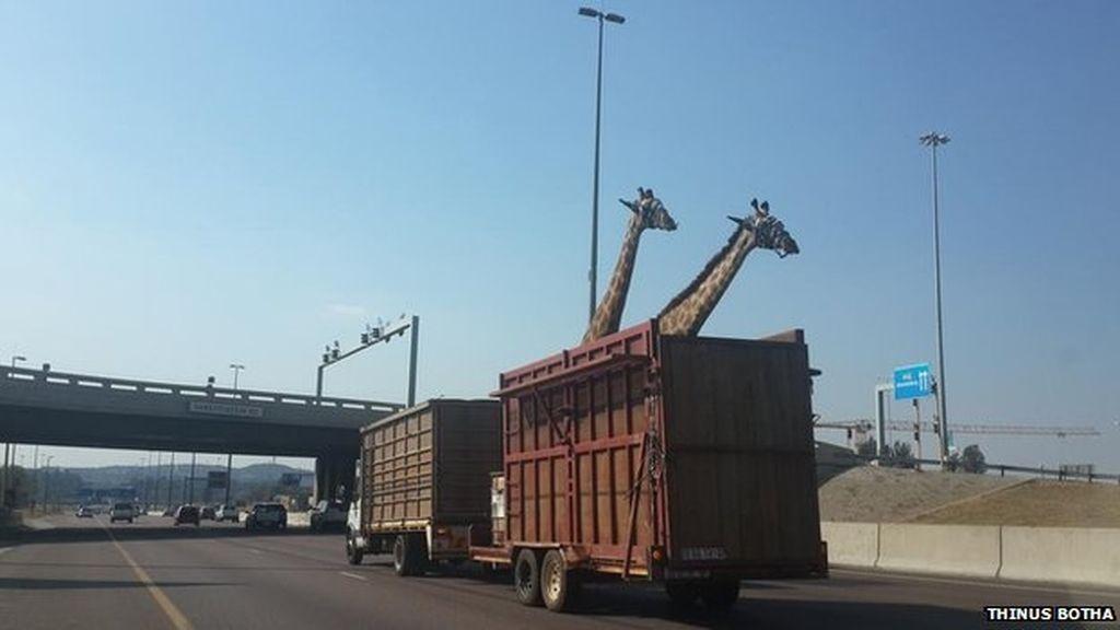 dos jirafas,Sudáfrica,traslado de jirafa,puente
