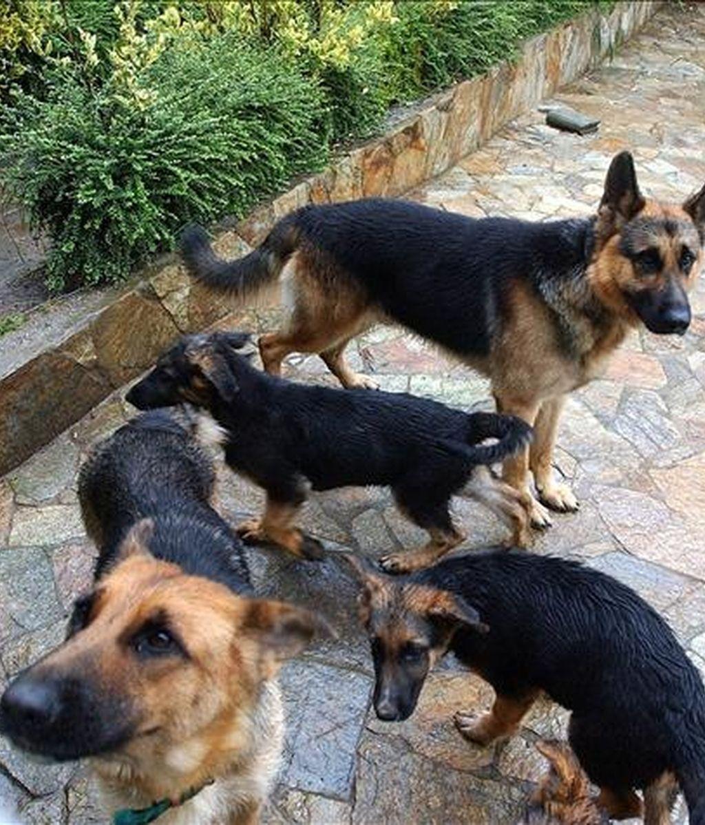 Un grupo de perros de raza pastor alemán. EFE/Archivo