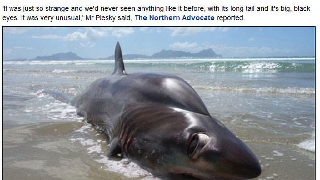 Tiburón zorro encontrado en Nueva Zelanda