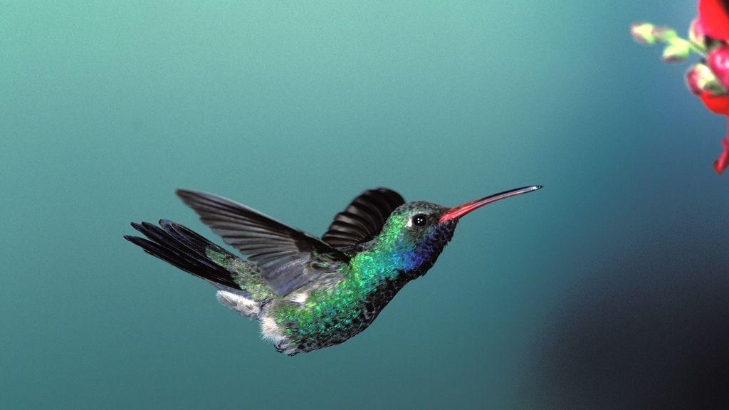 Colibrí esmeralda