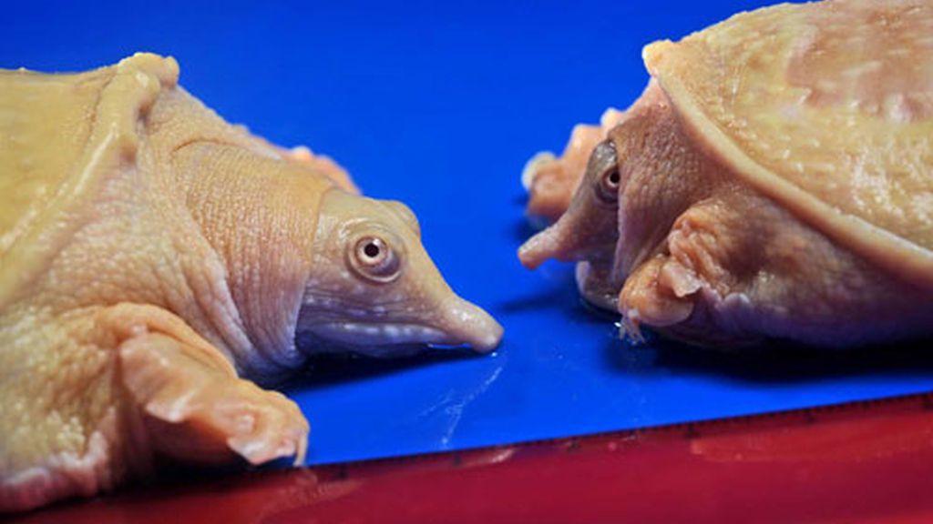 Tortugas albinas