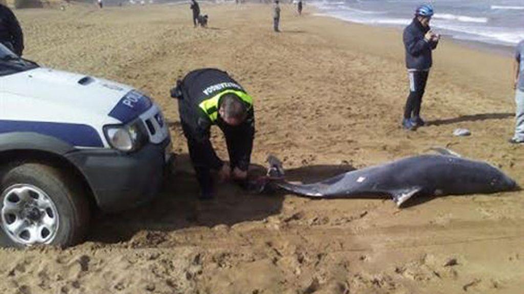 Aparece muerto un delfín mular de más de dos metros en Zierbena (Vizcaya)