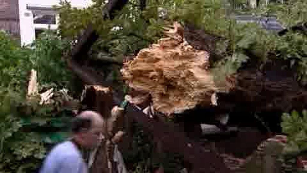 Se cae el árbol de Ana Frank