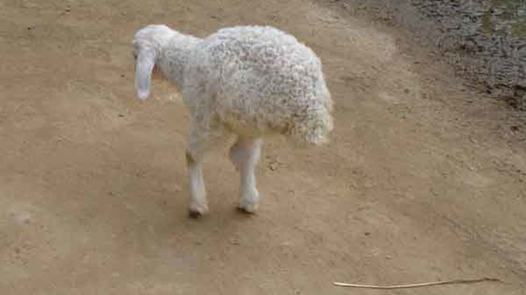 La oveja china con dos patas