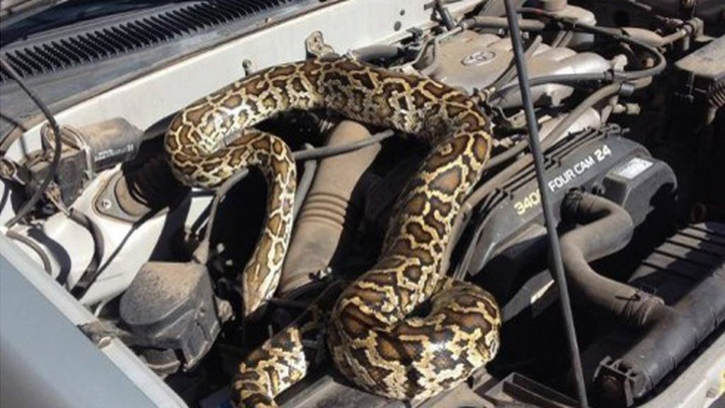 Se encuentra una pitón escondida en el motor de su camioneta