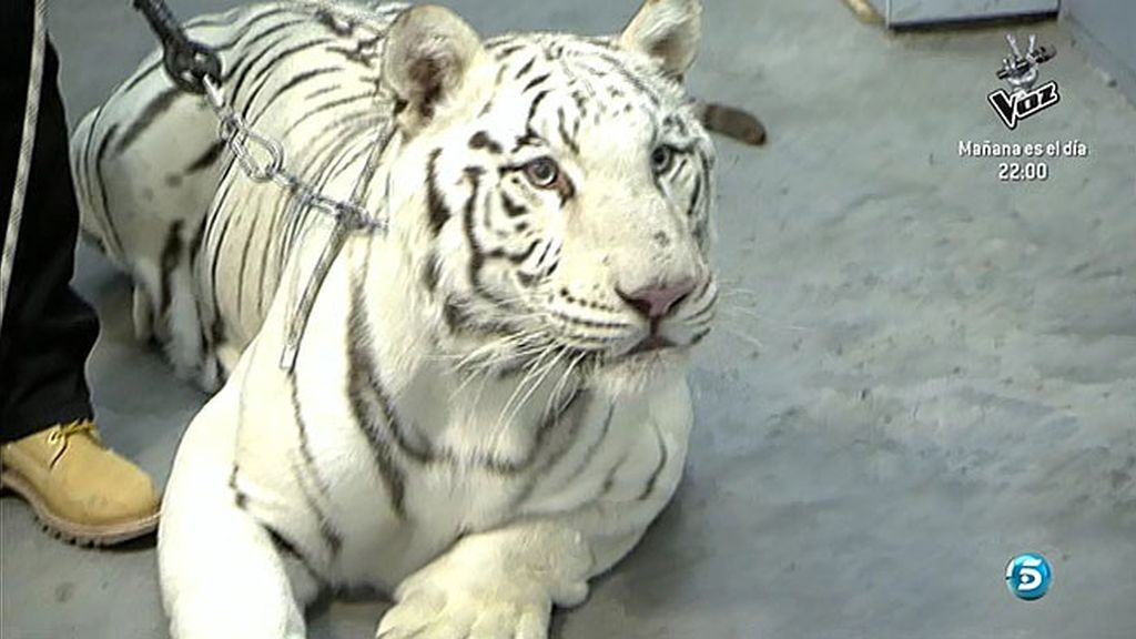 Un tigre atemoriza a muchos en Sálvame