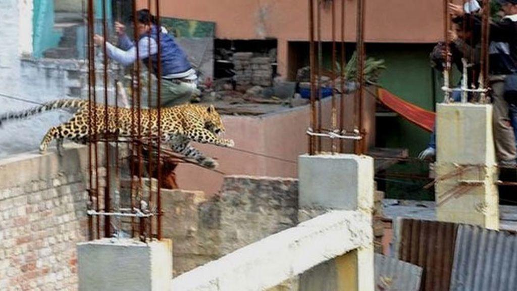 leopardo, India