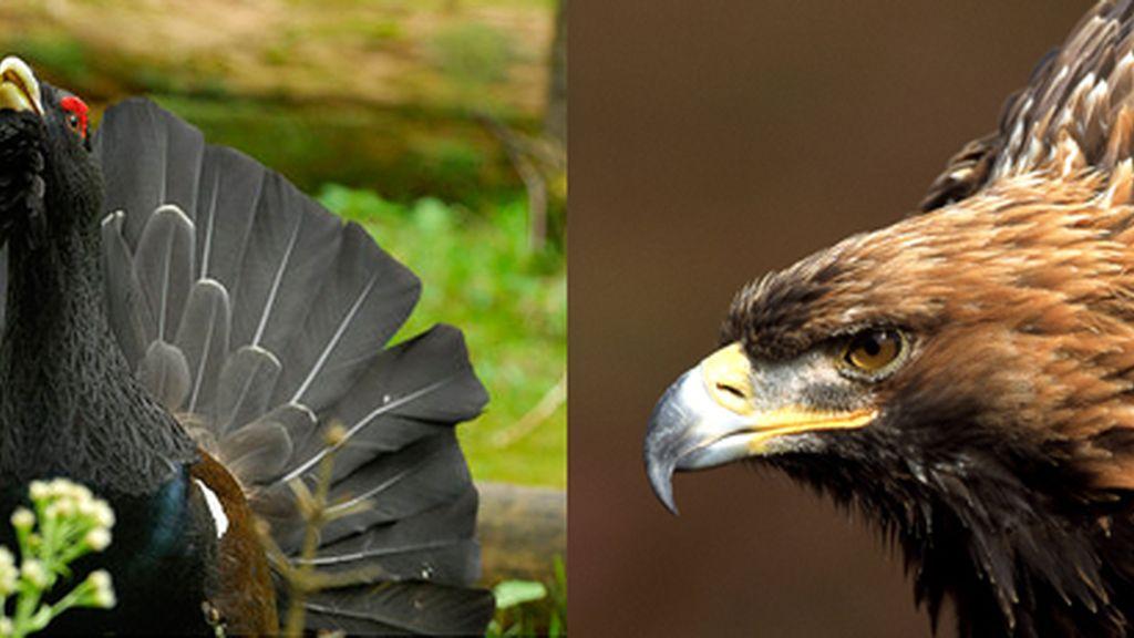 urogallo águila